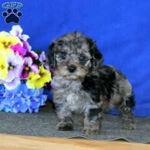 a Cockapoo puppy named Lacy