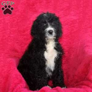 a Bernedoodle puppy named Larry