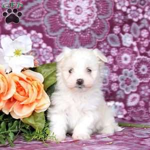 a Maltese puppy named Lincoln