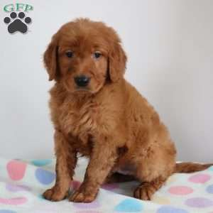 a Goldendoodle puppy named Macan
