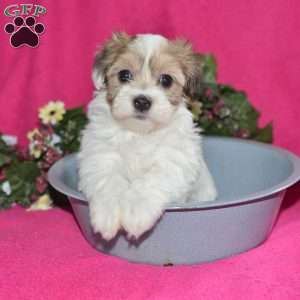 a Havanese puppy named Makenzie