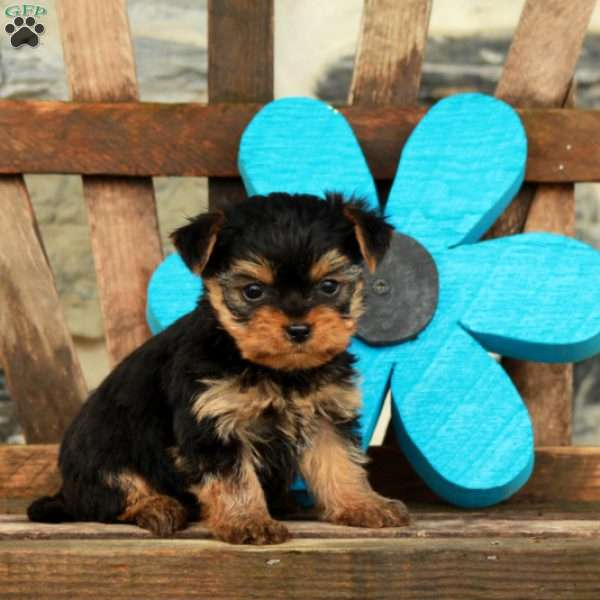 Marco, Yorkshire Terrier Puppy