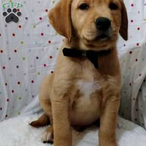 a Golden Labrador puppy named Marko