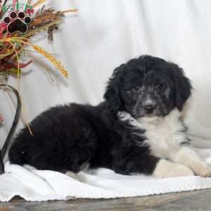 a Miniature Aussiedoodle puppy named Mason