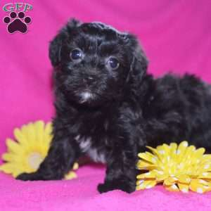 a Havanese puppy named Midnight