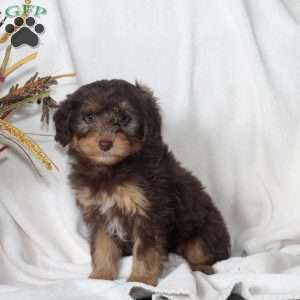 a Miniature Aussiedoodle puppy named Moe
