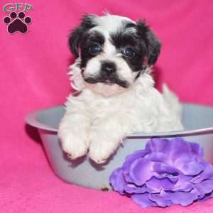 a Havanese puppy named Monica