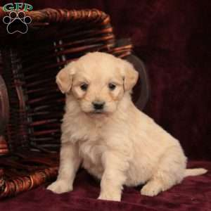 a Mini Goldendoodle puppy named Monroe