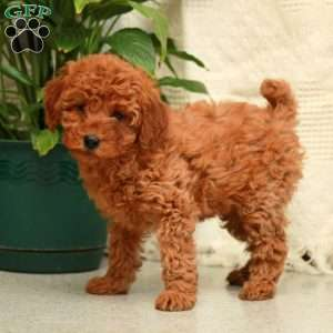 a Miniature Poodle puppy named Olive