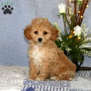 a Bich-poo puppy named Paisly