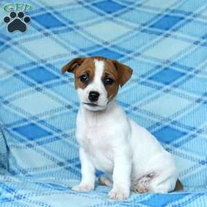 a Jack Russell Terrier puppy named Pansy