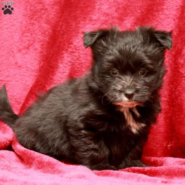 Panther, Maltipom Puppy