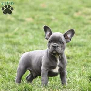 a French Bulldog puppy named Parker