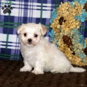 a Maltese puppy named Penny
