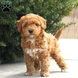 a Mini Goldendoodle puppy named Peony