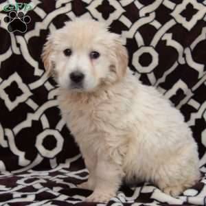 a English Cream Golden Retriever puppy named Petey