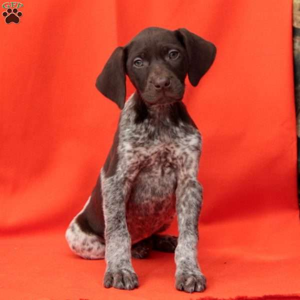 Piper, German Shorthaired Pointer Puppy