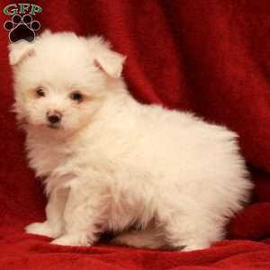 a Maltipom puppy named Pom