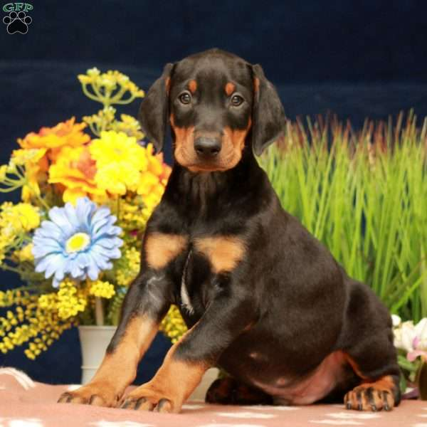 Porter, Doberman Pinscher Puppy