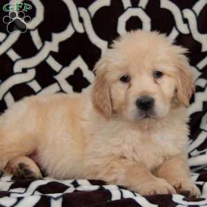 a English Cream Golden Retriever puppy named Posh
