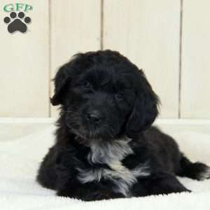 a Portuguese Water Dog Mix puppy named Riah
