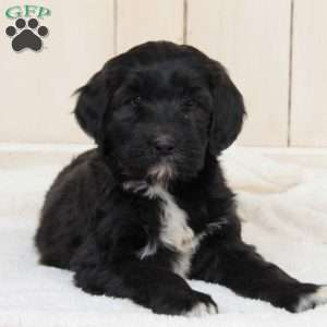 a Portuguese Water Dog Mix puppy named Roxy