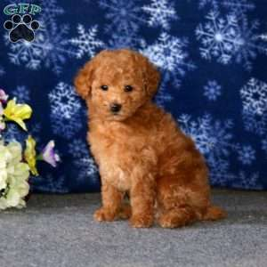 a Toy Poodle puppy named Randall