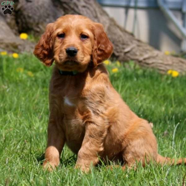 Randy Irish Setter Puppy
