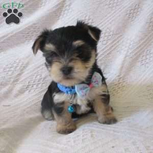 a Morkie / Yorktese puppy named Rebel