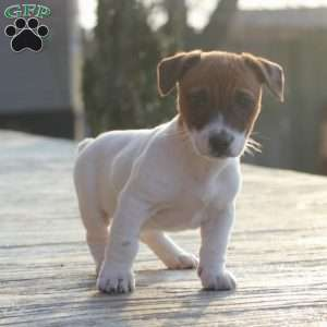 a Jack Russell Terrier puppy named Rocky