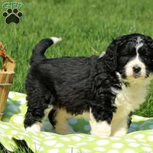a Mini Bernedoodle puppy named Rory
