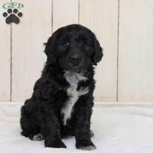 a Portuguese Water Dog Mix puppy named Roscoe