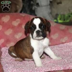 a Olde English Bulldogge puppy named Rose