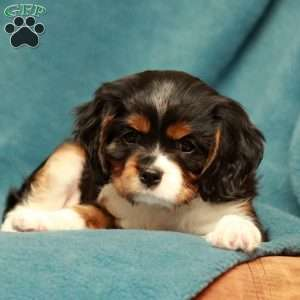 a Cavalier King Charles Spaniel puppy named Snickers