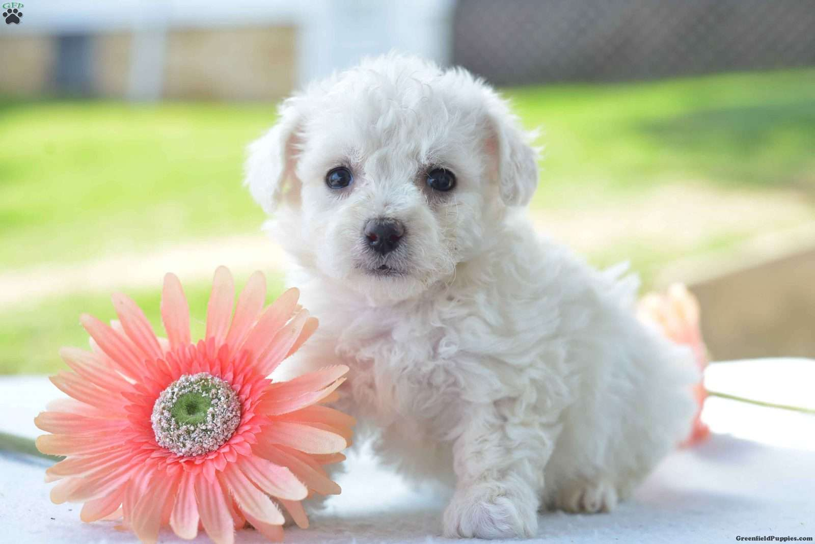 snowball bichon frise puppy for sale in ohio ttcricketboard