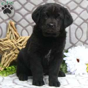 a Newfoundland Mix puppy named Spark