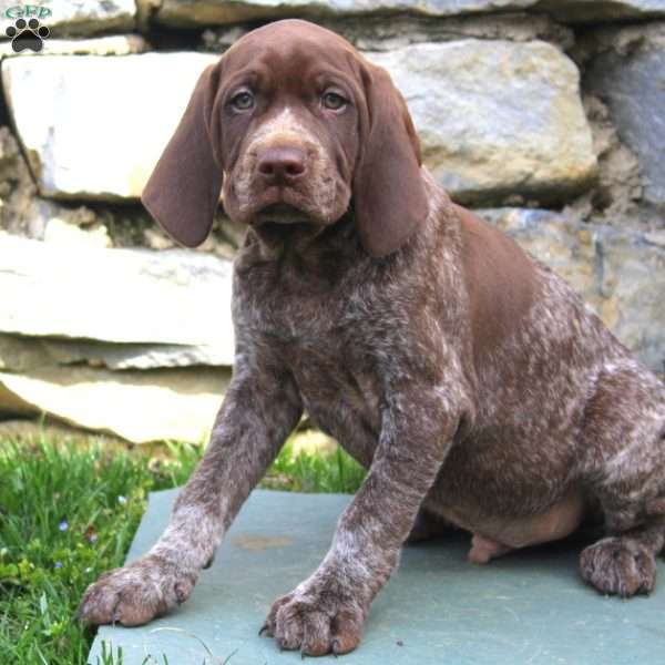 Tebow, German Shorthaired Pointer Puppy