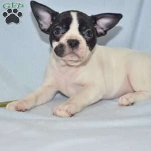 a French Bulldog Mix puppy named Teressa