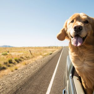 Texas Dog-Friendly Travel Guide - Golden Retriever traveling in a car