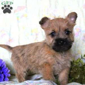 a Cairn Terrier puppy named Tiger