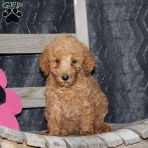 a Standard Poodle puppy named Tilly
