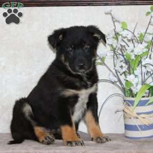 a German Shepherd Mix puppy named Timmy