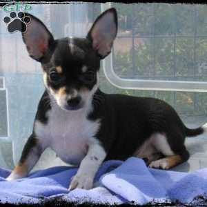 a Chihuahua puppy named Tippy