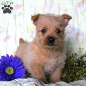 a Cairn Terrier puppy named Tootsie