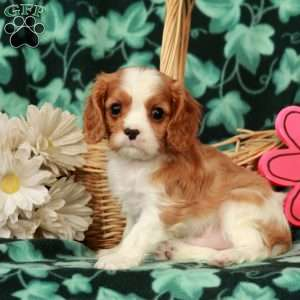 a Cavalier King Charles Spaniel puppy named Tubby