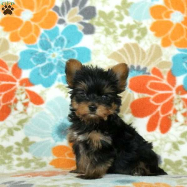 Tulip – Teacup, Yorkshire Terrier Puppy