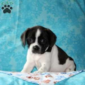a Boston Terrier Mix puppy named Tyler