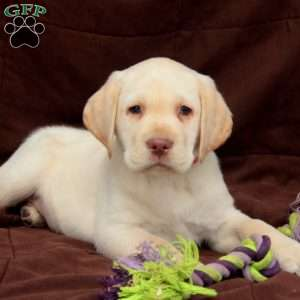 a Yellow Labrador Retriever puppy named Watson