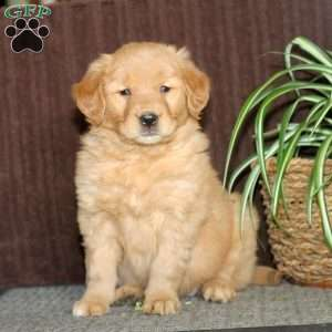 a Golden Retriever Mix puppy named Wynonna