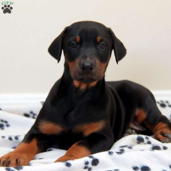 Zino, Doberman Pinscher Puppy